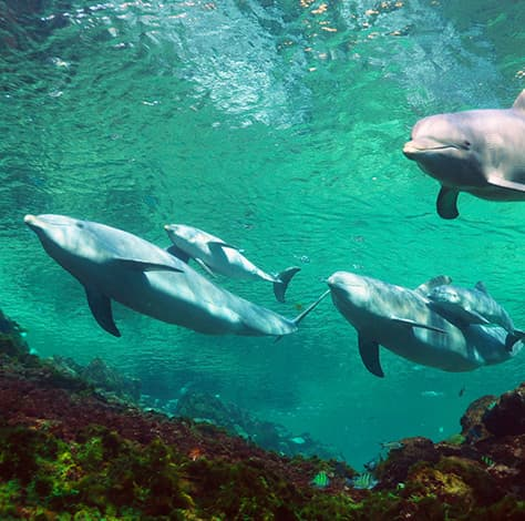 Atlantic bottle-nose dolphins